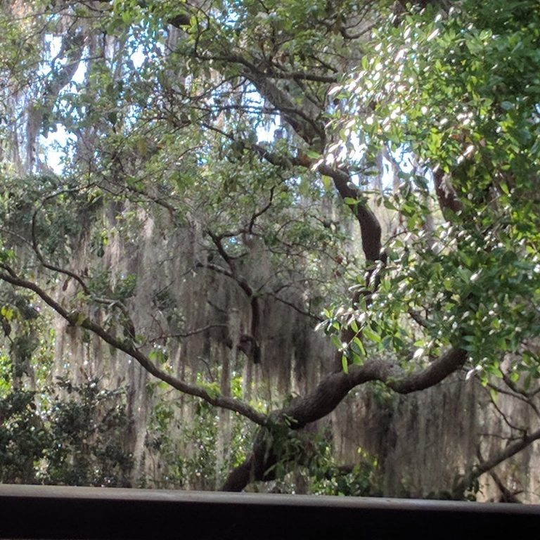 Spanish Moss on an old oak tree across from my house